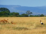 Safari Fever: Kruger and Maasai Mara